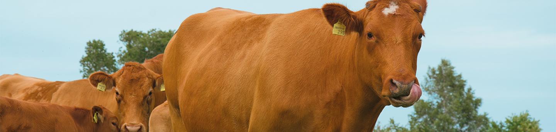 Limousin Rinder Bestellablauf